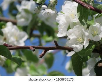 white apple tree flowers and blue sky sunshine spring background photo
