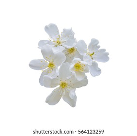white apples blossom isolated on white background