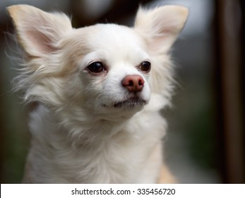 White Apricot Long Haired Chihuahua Looking In the Distances to the Side, Ears Up