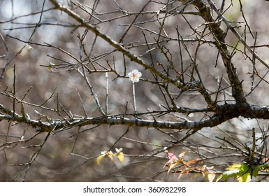 A white apricot tree flower, seasonal floral nature theme, background of spring in Asia