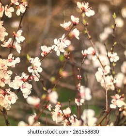 White Apricot Tree Flowers. Spring Vintage Background