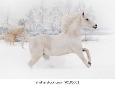 white arab horse in white winter