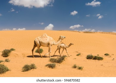 White arabian camel with foal in the desert, Morocco