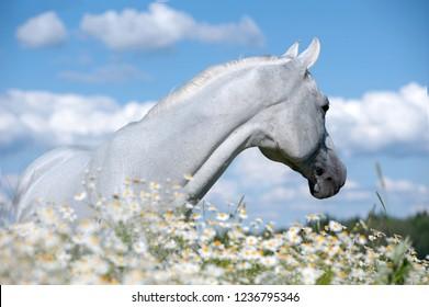 white arabian horse in chamomile field