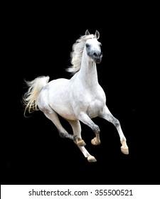 white arabian horse isolated on black background