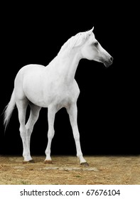 white arabian horse on the dark backgroung