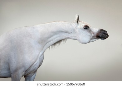 white arabian horse on yellow wall background