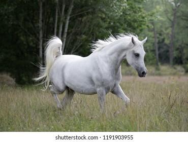 White arabian horse running