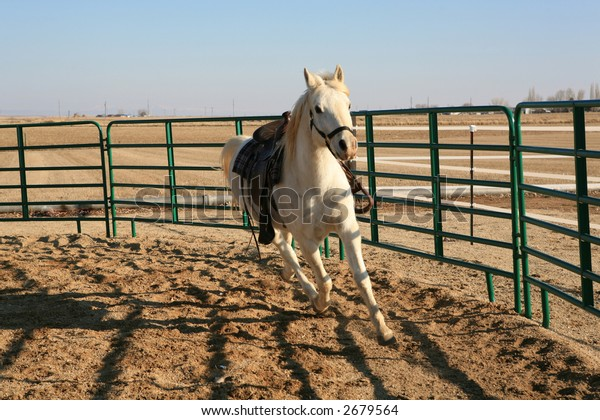 White Arabian horse running in round pen with saddle on