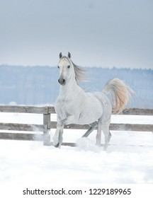 white arabian horse runs in the snow