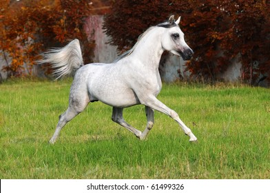 white arabian horse runs trot in autumn
