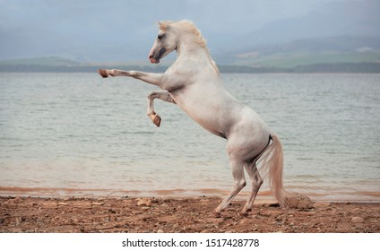 White Arabian horse standing on back legs on beach with lake on background