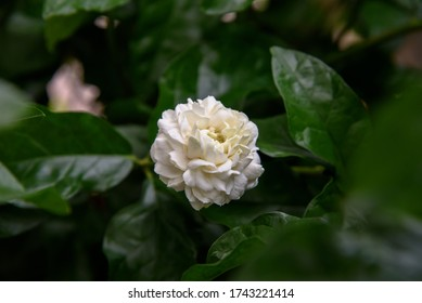 White arabian jasmine flower , plant