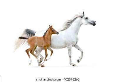 white arabian mare with chestnut foal isolated on white