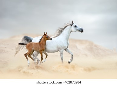 white arabian mare with chestnut foal in desert
