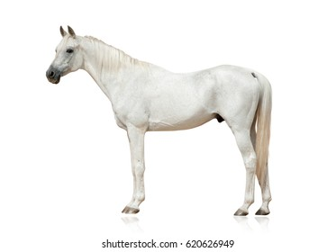 white arabian stallion standing isolated over a white background