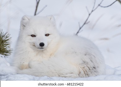 White arctic fox curled up in the snow looking