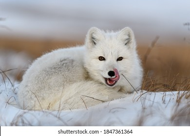 White arctic fox (Vulpes Lagopus) curled up on snow in Arctic tundra. Snow Fox.
