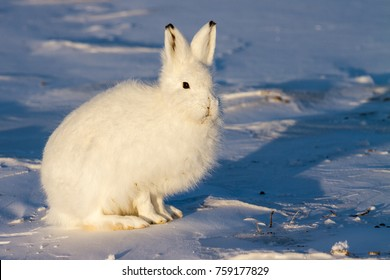 White Arctic hare in the snow.