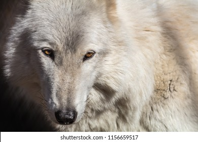 White Arctic wolf (Canis lupus arctosportrait) has beautiful golden eyes