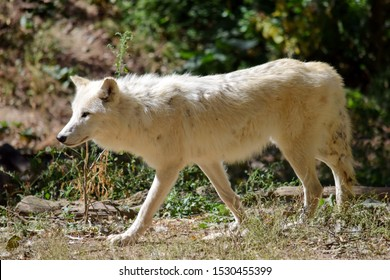 White Arctic Wolf Canis Lupus Arctos in the Forest