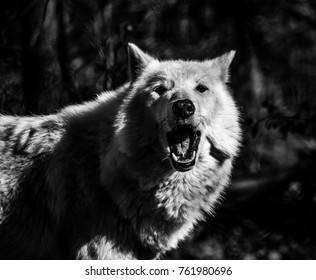 White Arctic wolf (Canis lupus arctosportrait) black and white