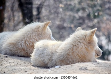 White Arctic Wolf Couple Canis Lupus Arctos Resting on Rock