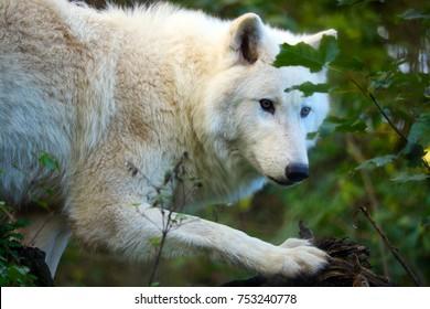 white arctic wolf (lupus arctos) lurking in a forest