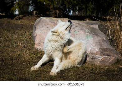 White arctic wolf sitting in grown forest scratching
