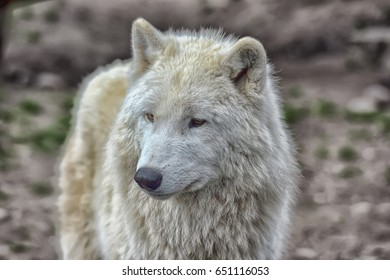 White arctic wolf in a zoo.