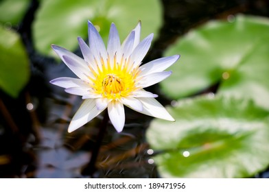 The white asian lotus welcome sunlight on the water and leaf background
