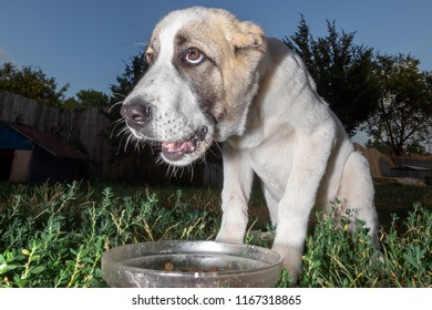 White Asian shepherd dog with a mask on the face, near the dish to his food
