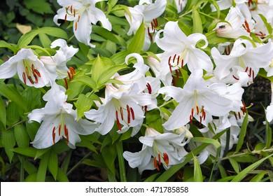 White Asiatic Lily 'Casablanca' (Lilium Hybrid) blooming flowers with decorative orange stigmata
