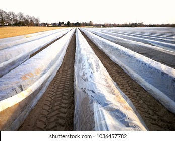 white asparagus field covered with plastic, start of new white asparagus season in Holland