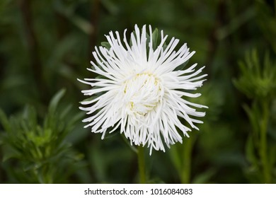 White Aster blooming in flower garden. Large alpine white aster growing in flower bed. Background with colorful white aster flower. Bright white Aster in summer garden as background card or wallpaper.