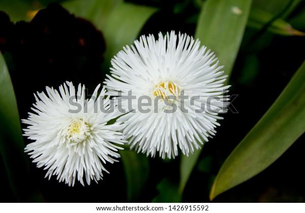 white-aster-callistephus-tall-double-600