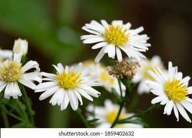 white aster flower with bee - Symphyotrichum ericoides known as white heath aster, frost aster or heath aster, is a species of flowering plant in the family Asteraceae.