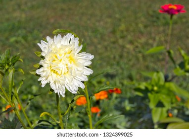 White Aster on the green background