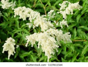 White Astilbe inflorescences in the garden in summer.
