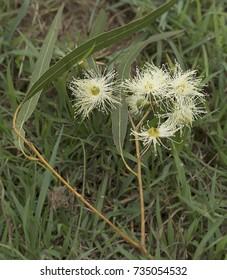 White Australian native flowers of Lemon Scented gum Eucalyptus citriodora known as Spotted Gum