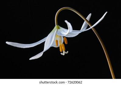 White Avalanche Lily (Erythronium Montanum) Liliaceae - Studio Image