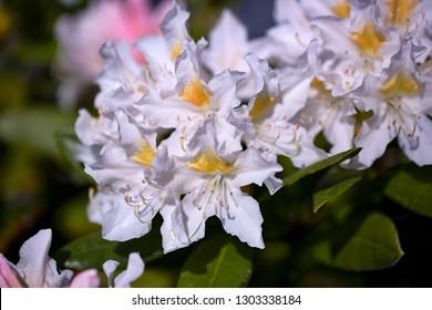White azalea flowers,