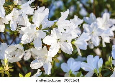 White azalea flowers on bush in spring garden. Close up