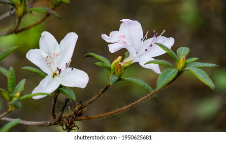 White azalea flowers (white rhododendron) on bush with evergreen leaves in spring Arboretum Park Southern Cultures in Sirius (Adler). Nature wallpaper, copy space.