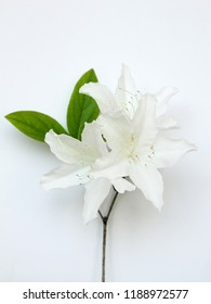 white azaleas flowers isolated on white background . Royal azalea blossom