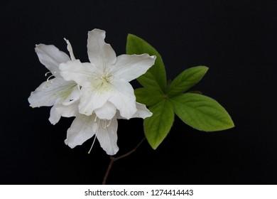 white azaleas flowers isolated on black background . Royal azalea blossom .