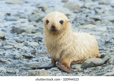 White baby Fur Seal in South Georgia