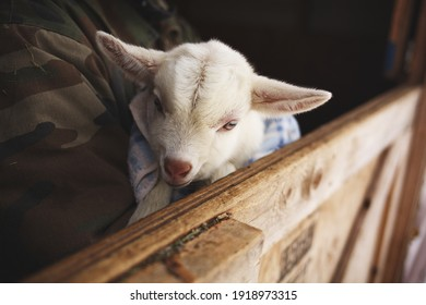 White baby goat in a barn on a small farm in Ontario, Canada.