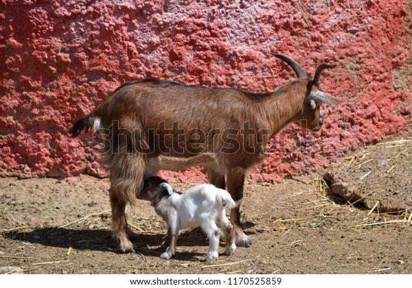 White Baby Goat Drinking Milk Mother Stock Photo (Edit Now