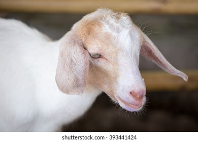 white baby goat face